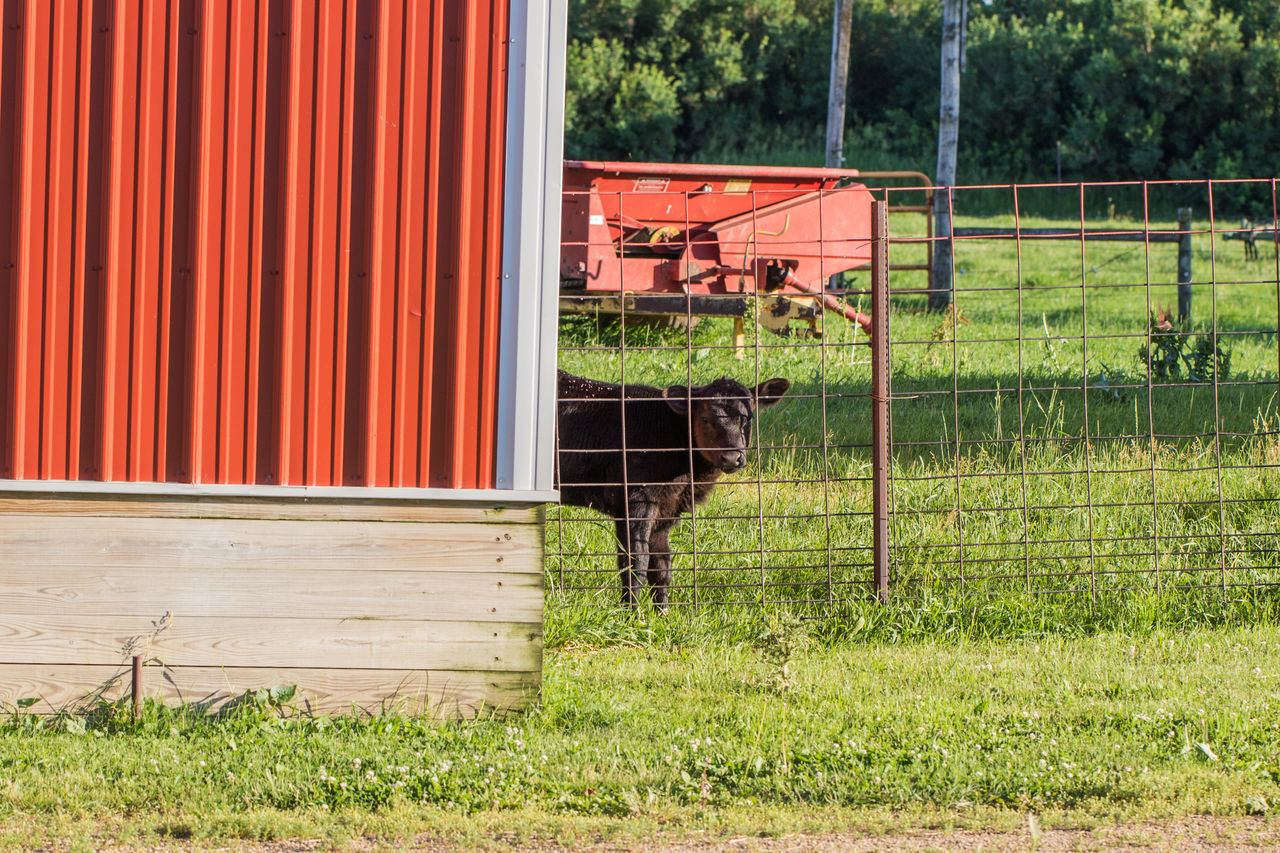 Agriculture Animal Black Black Angus Building Exterior Calf Canon60d Canonphotography Cattle Domestic Animals Farm Fence Fencepost Grass Livestock Outdoors Red Summer Young Animal