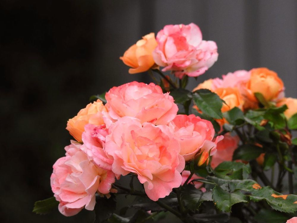 Colorful Roses Floral Perfection Multicolored Rose Multiflora Rose Apricot Blossom Colorful Nature Floral Beauty Floral Photography Flower Collection Flower Photography Pink And Orange Flowers Pink Flowers Pink Roses Little Rose Perfection Roses Roses Photography