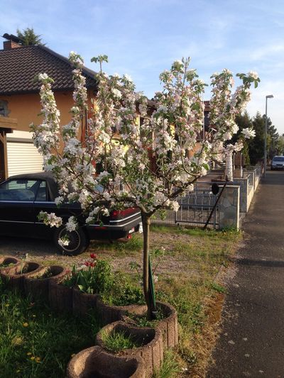 Blossoming of apple tree Blossoming  Apfelblüte Bäume Blütezeit