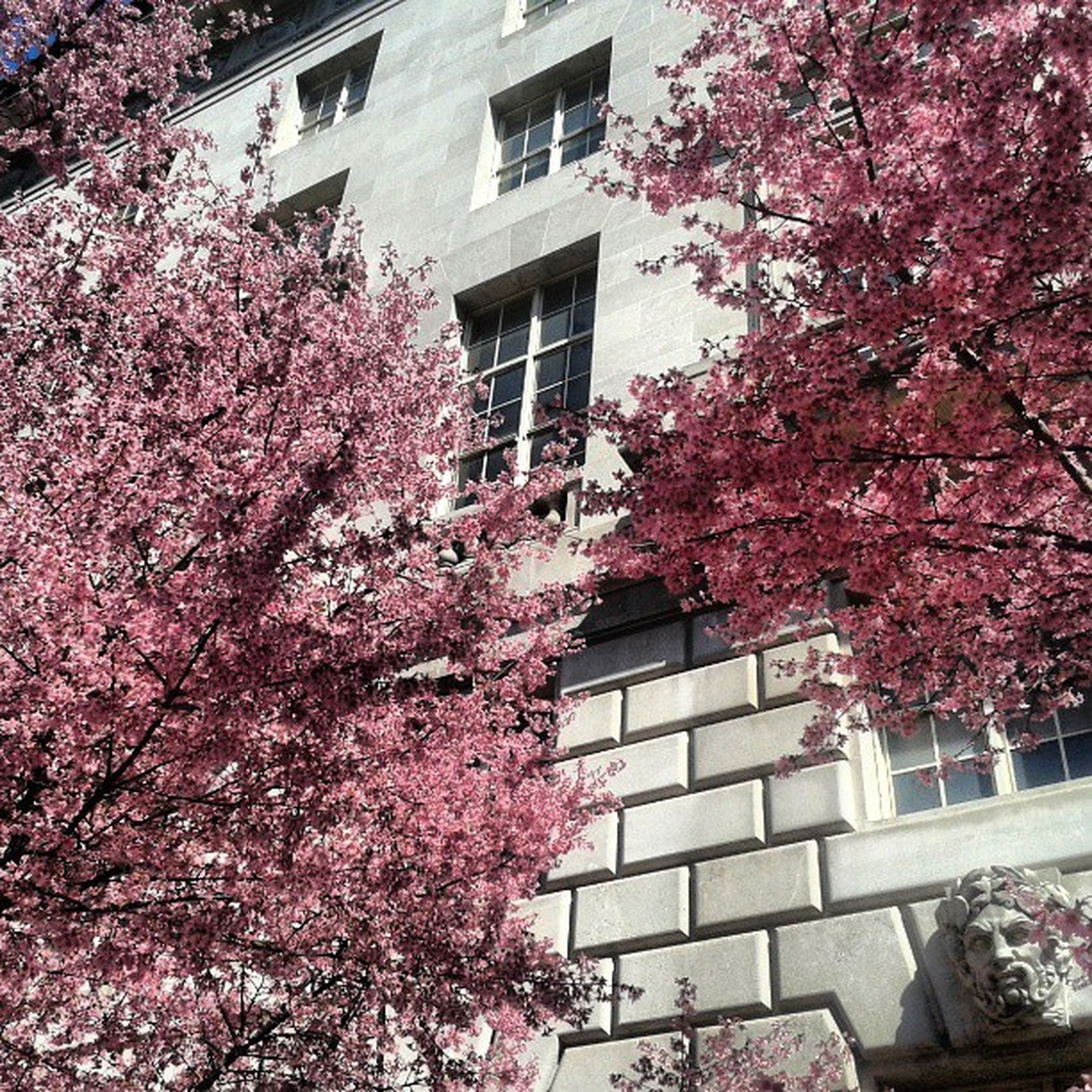 tree, building exterior, architecture, built structure, branch, flower, growth, low angle view, pink color, blossom, nature, residential building, pink, window, city, beauty in nature, day, house, residential structure, outdoors