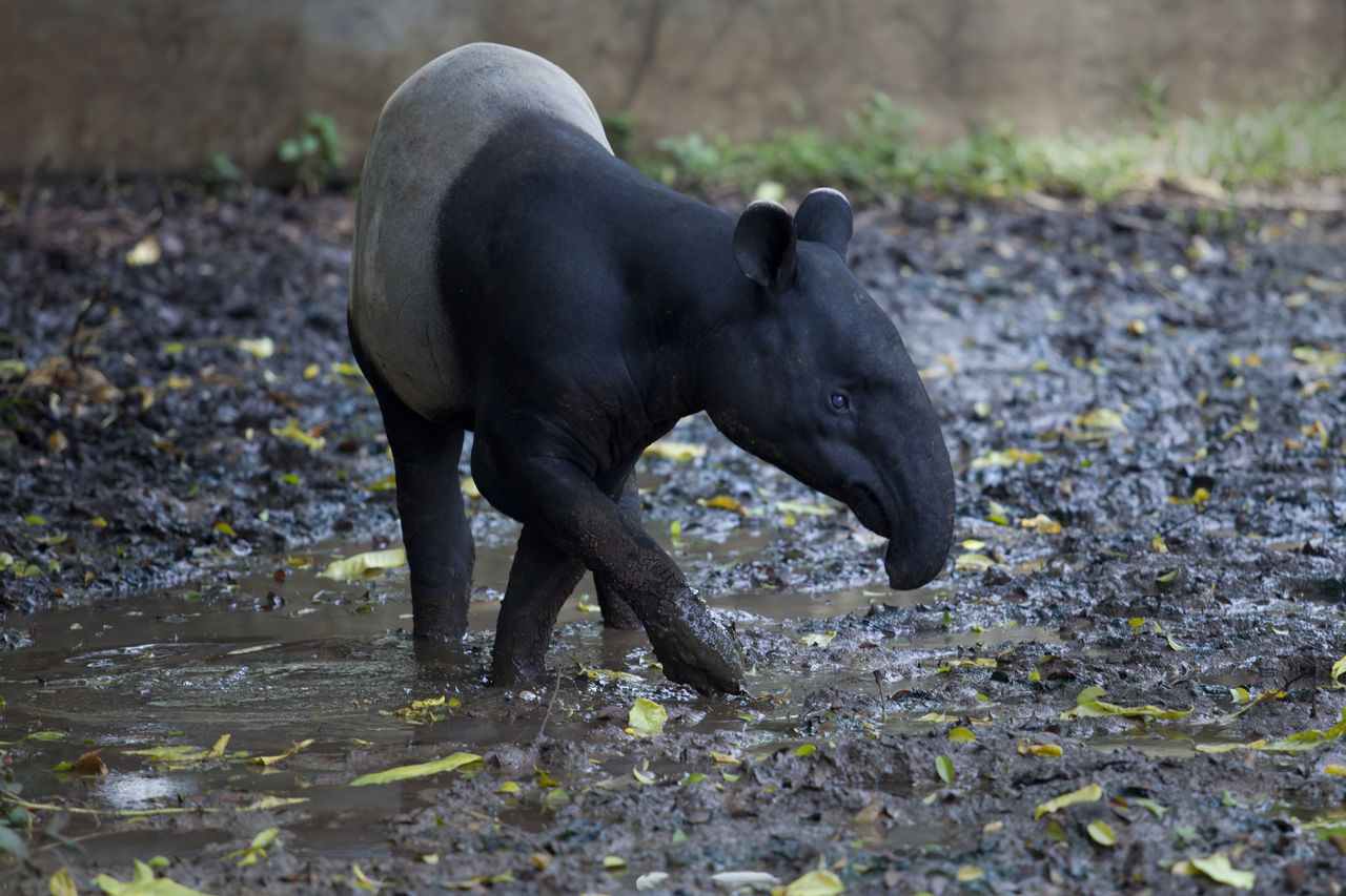 Endangered Indonesia Tapir Animal Themes Beauty In Nature Color Image Endangered Animals Endangered Species INDONESIA Mammal Nature No People One Animal Outdoors Photography Sulawesi Tapir Tapirus Indicus