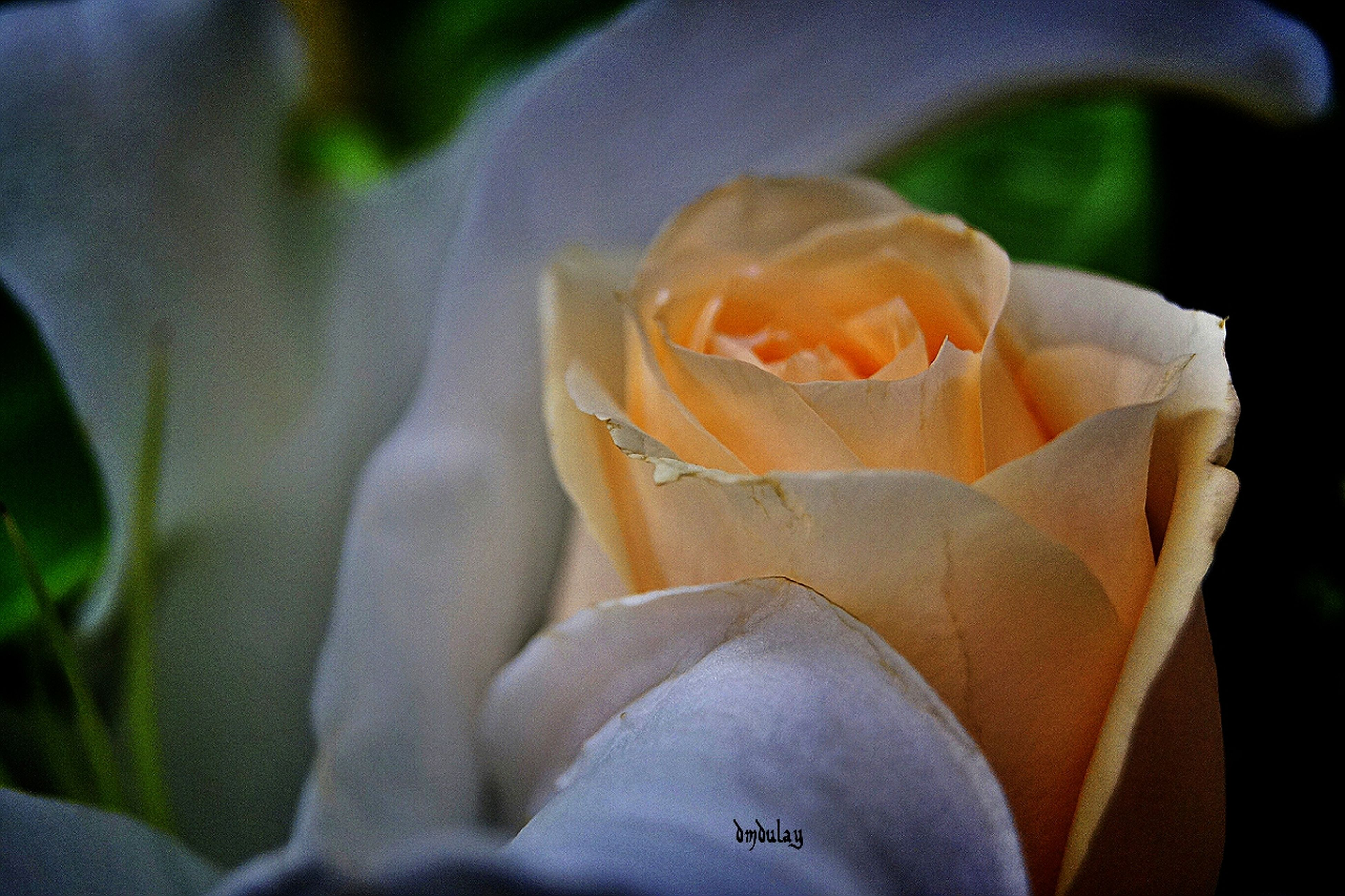 close-up, focus on foreground, flower, petal, person, freshness, fragility, white color, outdoors, rose - flower, selective focus, nature, growth, day, beauty in nature, holding, part of, human representation
