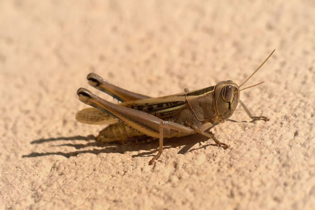 Animal Themes Animal Wildlife Animals In The Wild Beach Close-up Crickets Day Insect Nature No People One Animal Outdoors Sand