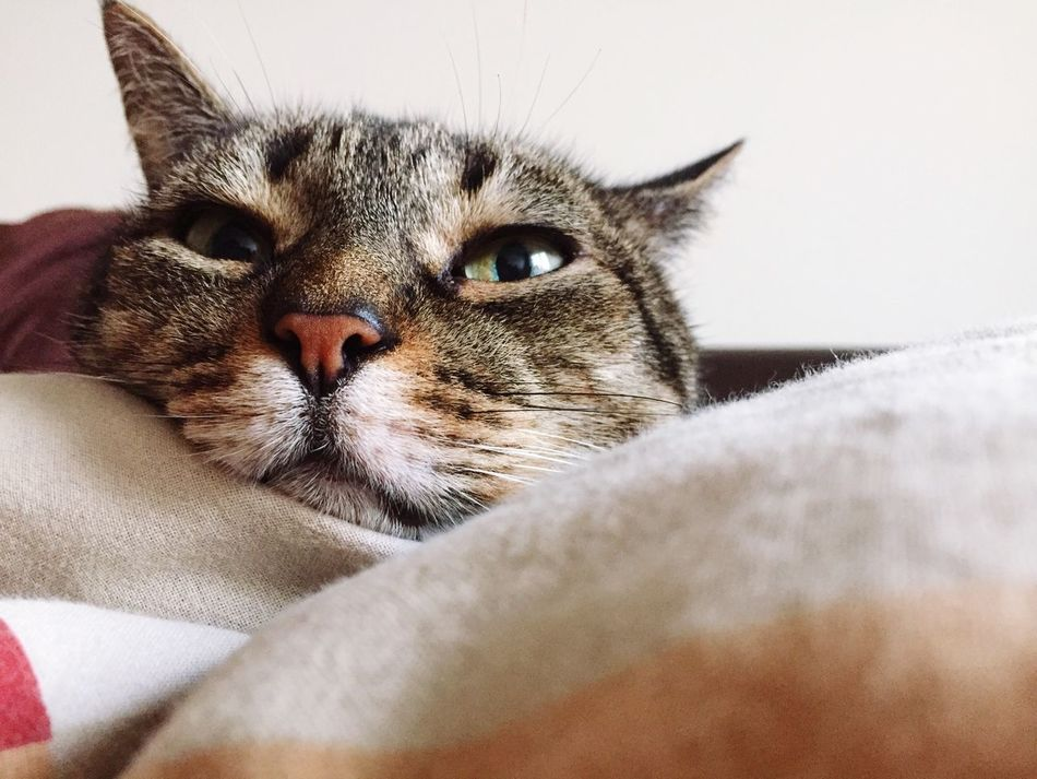 Domestic Cat Pets Domestic Animals Mammal One Animal Animal Themes Feline Whisker Indoors  Close-up Portrait Day
