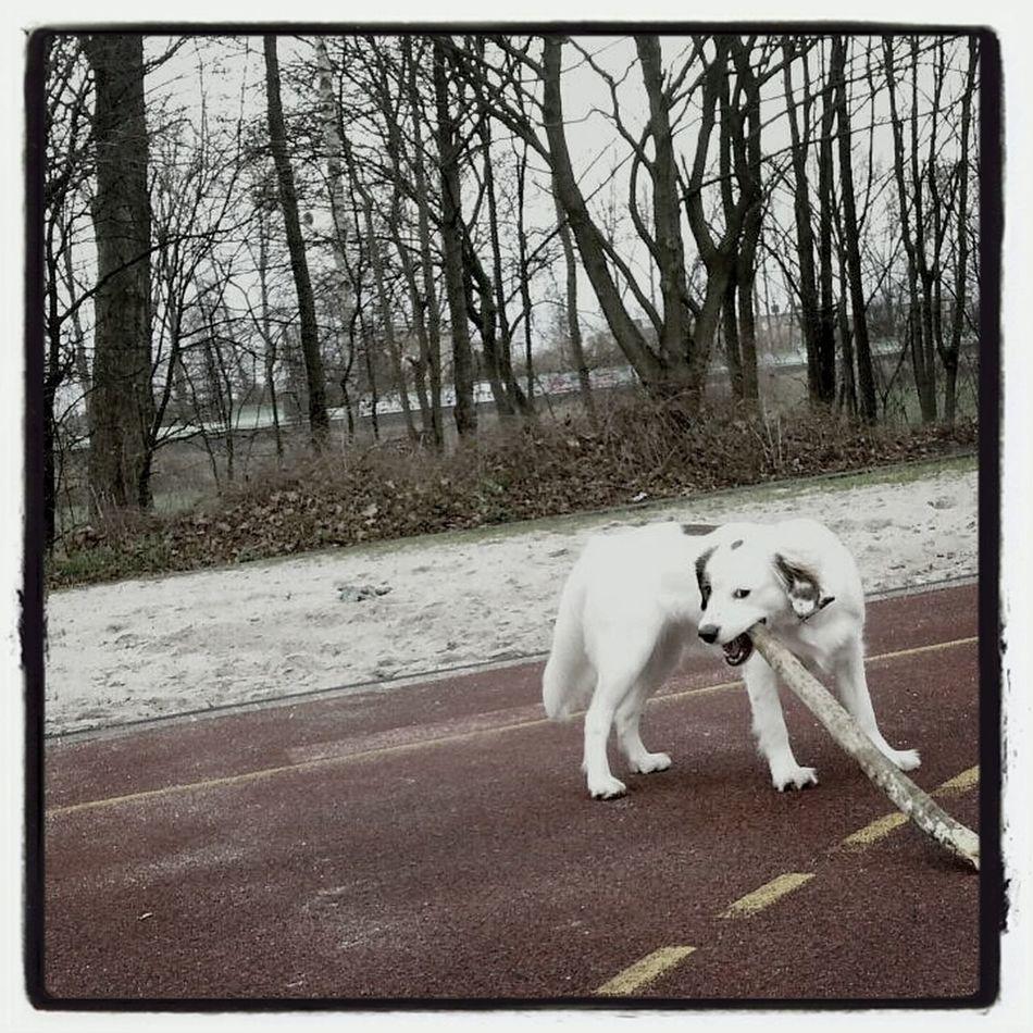 Kooikerhondje  Cute Dog  Dog Walking