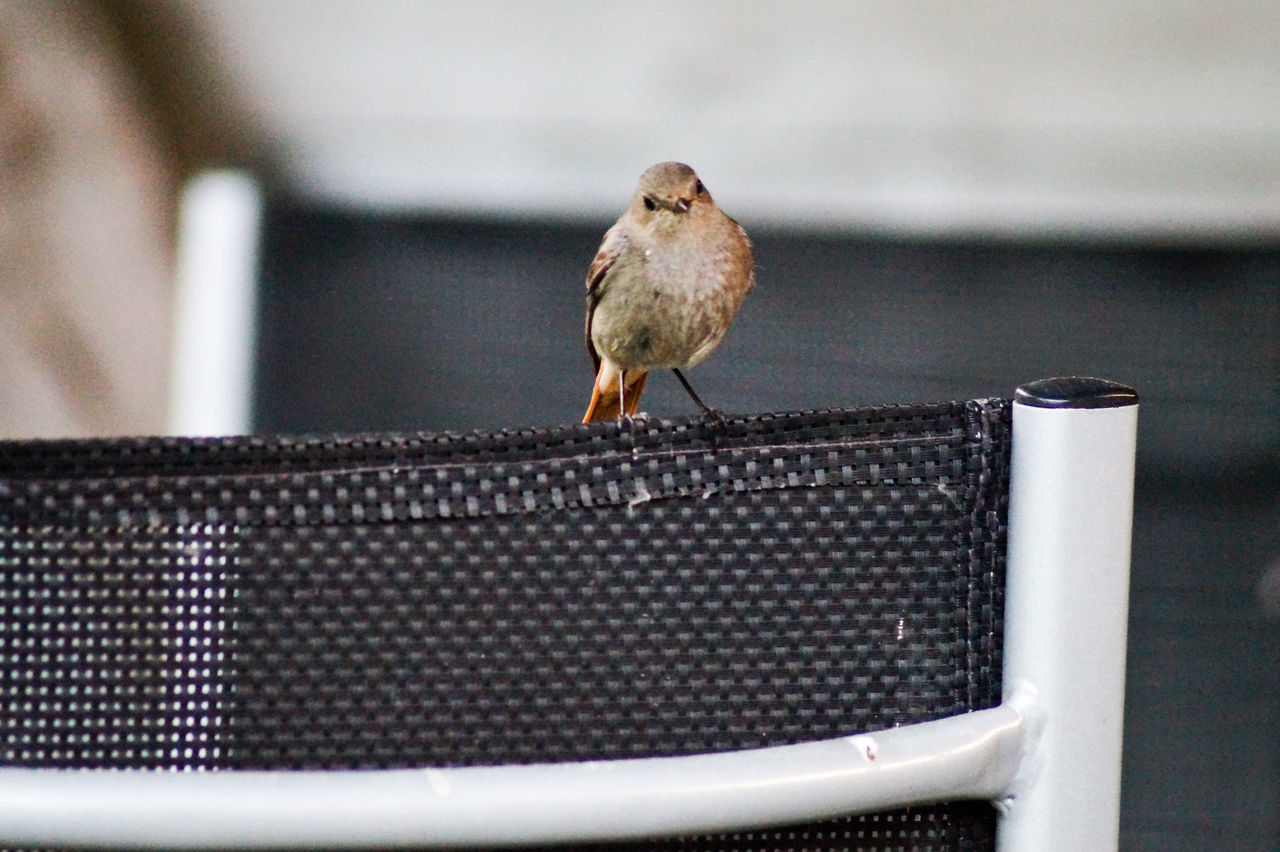 Close-Up Of Young Robin Perching On Chair