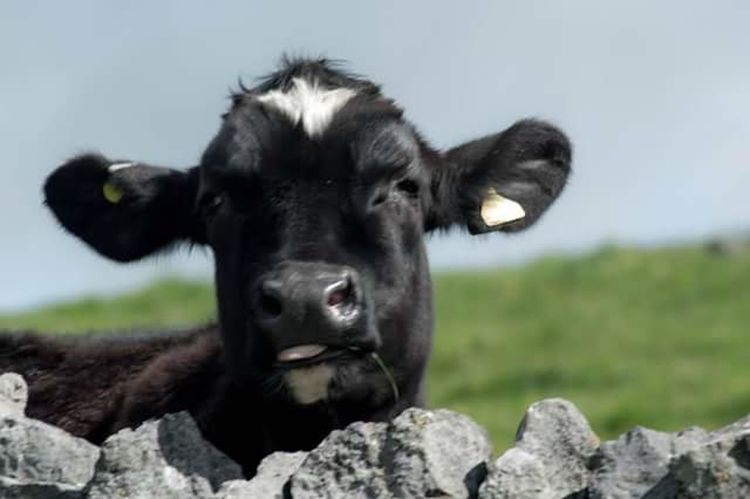One Animal Looking At Camera Front View No People Animal Themes Animal Wildlife Portrait Nature Cow