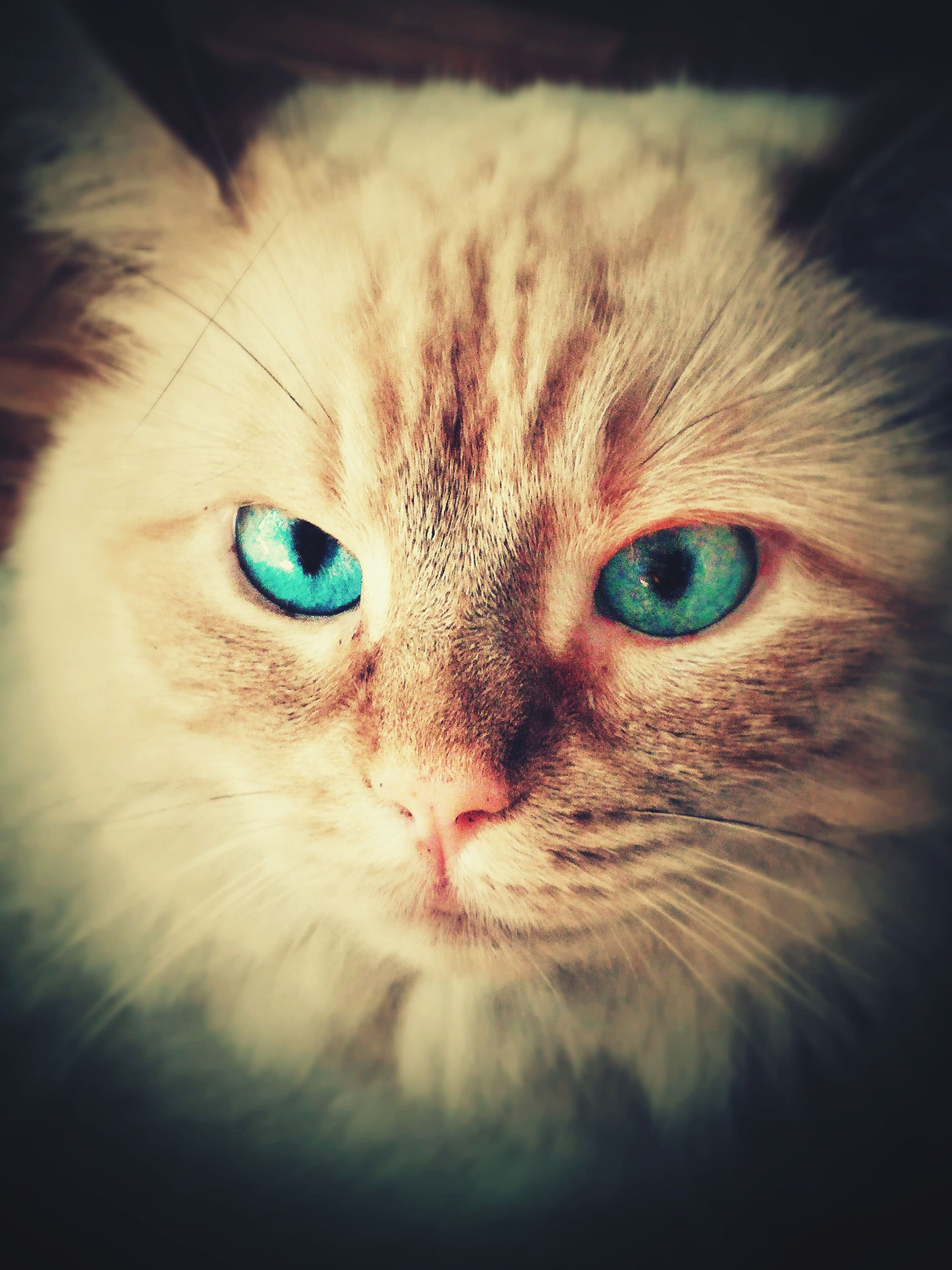 one animal, animal themes, pets, domestic cat, cat, domestic animals, portrait, looking at camera, animal eye, whisker, animal head, feline, close-up, mammal, staring, animal body part, indoors, alertness, front view, focus on foreground