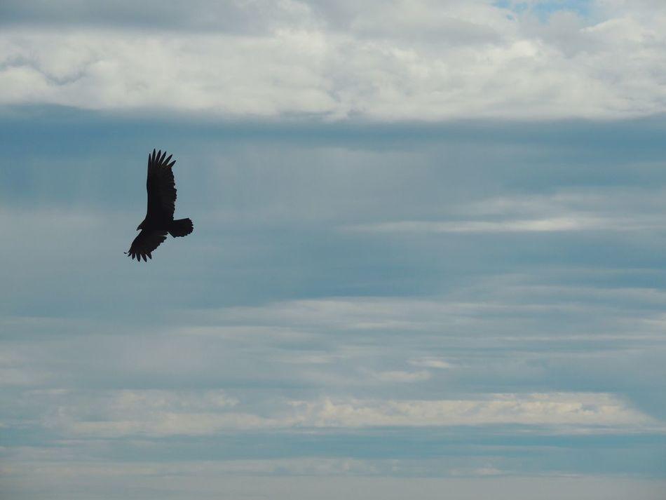 Happy Saturday Morning Sky Animal Bird Bird In Flight Raptor Raptor Silhouettes Sky And Clouds Bird Photography Winter Sky Winter Season Capturing Movement Freedom