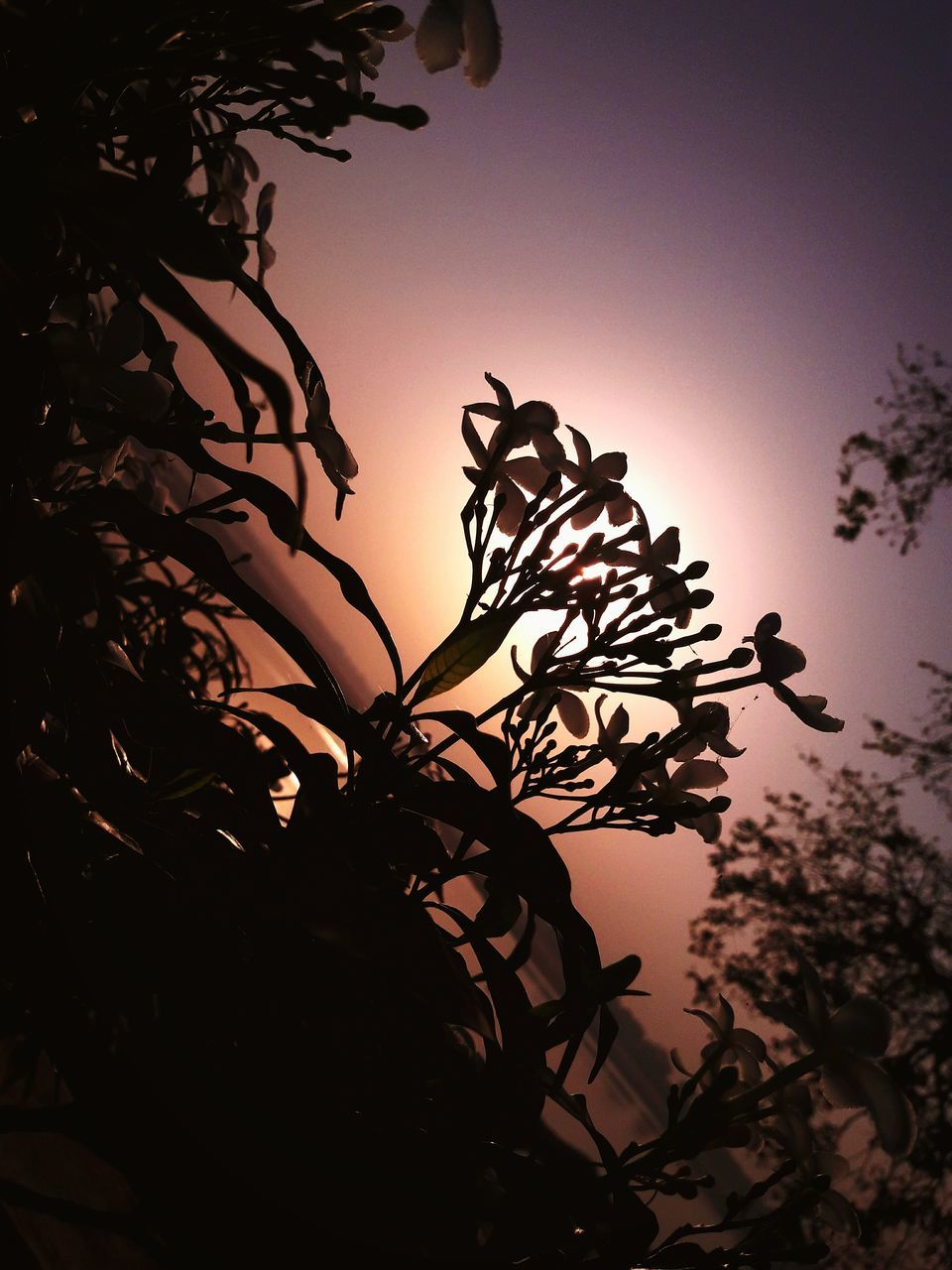 tree, silhouette, nature, low angle view, sunset, beauty in nature, sky, growth, plant, outdoors, no people, tranquility, clear sky, branch, leaf, scenics, flower, day, close-up