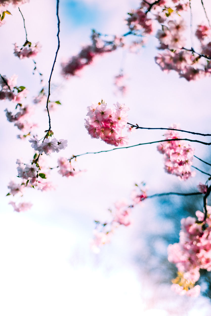 flower, blossom, pink color, fragility, beauty in nature, cherry blossom, springtime, tree, growth, nature, branch, cherry tree, freshness, botany, apple blossom, no people, day, petal, outdoors, twig, low angle view, plum blossom, orchard, pink, focus on foreground, close-up, flower head, sky, blooming