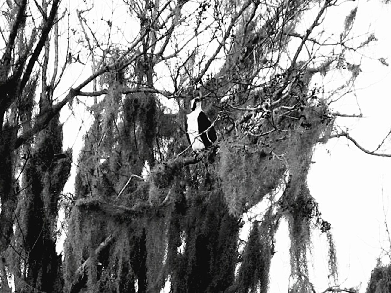 Spanish Moss Travel Florida Kissimmee Scenery Shots Black And White Trees Texture