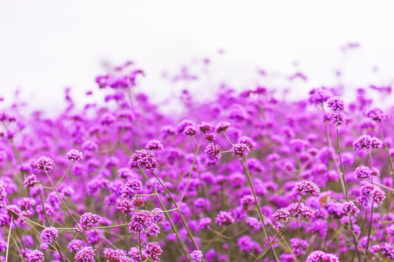 Backgrounds Beauty In Nature Blooming Chiang Mai | Thailand Close-up Colorful Field Flower Flower Head Fragility Freshness Garden Growth Insect Landscape Nature Outdoors Plant Purple Romantic Rural Scene Summer Sweet Travel Destinations Verbena EyeEmNewHere