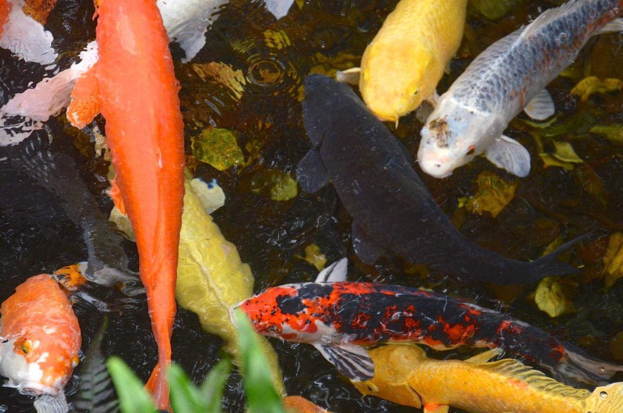 Beauty In Nature Fish Koi Fish Koi Pond Natures Diversities Pond Rippled Water Water Surface Natures Diversities.