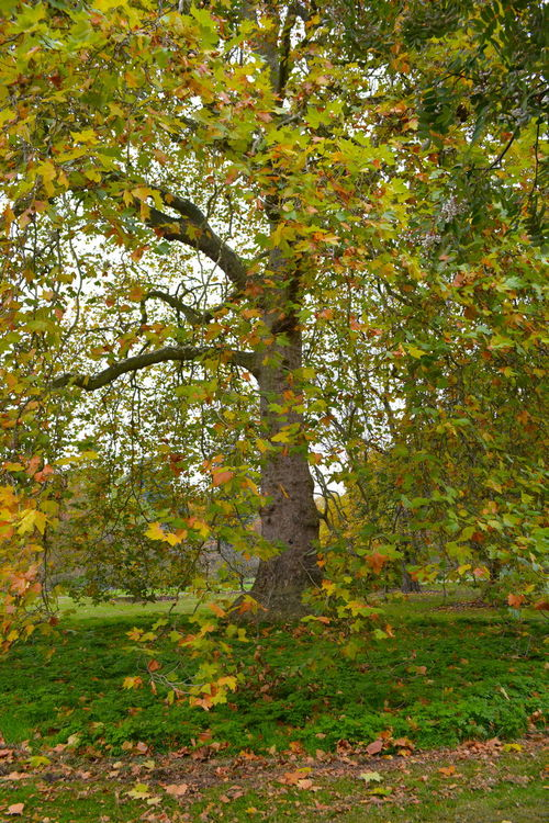Graceful London Plane tree Autumn Autumn Leaves, Beauty In Nature Day London Plane Trees No Effects Needed For Nature No People Tree