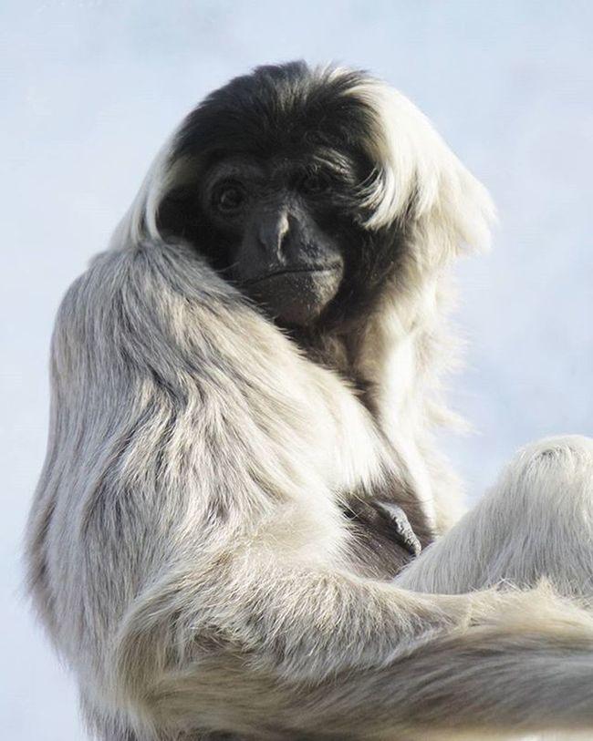 Langur Monkey Naturephotography Nature Wwf