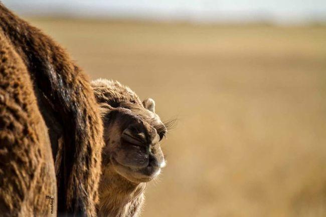 Misrata Libya Hello World Hanging Out Enjoying Life Taking Photos Canonphotography McBayoow Camel