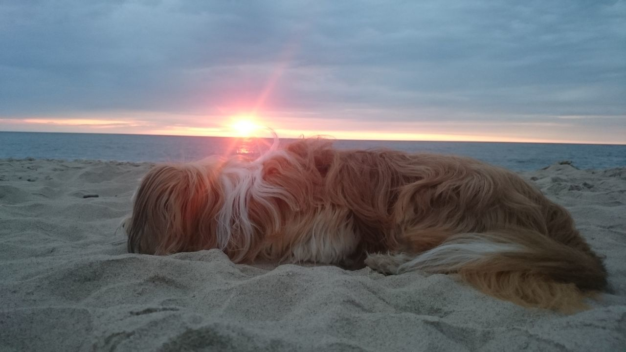 Dog Laziness Sleep Sea Beach Baltic Sunset Sunset Sky Relax Sand