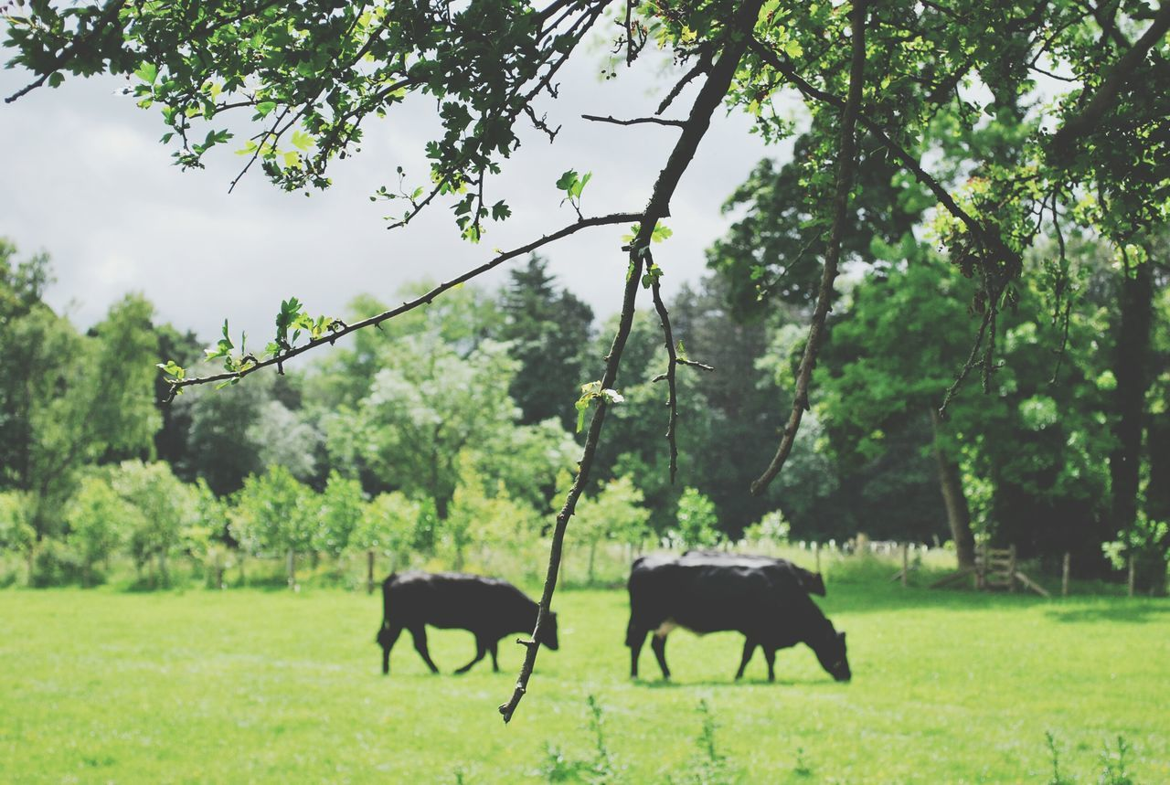 tree, animal themes, horse, domestic animals, mammal, nature, field, livestock, grazing, grass, green color, outdoors, day, no people, cow, landscape, growth, beauty in nature, full length, sky