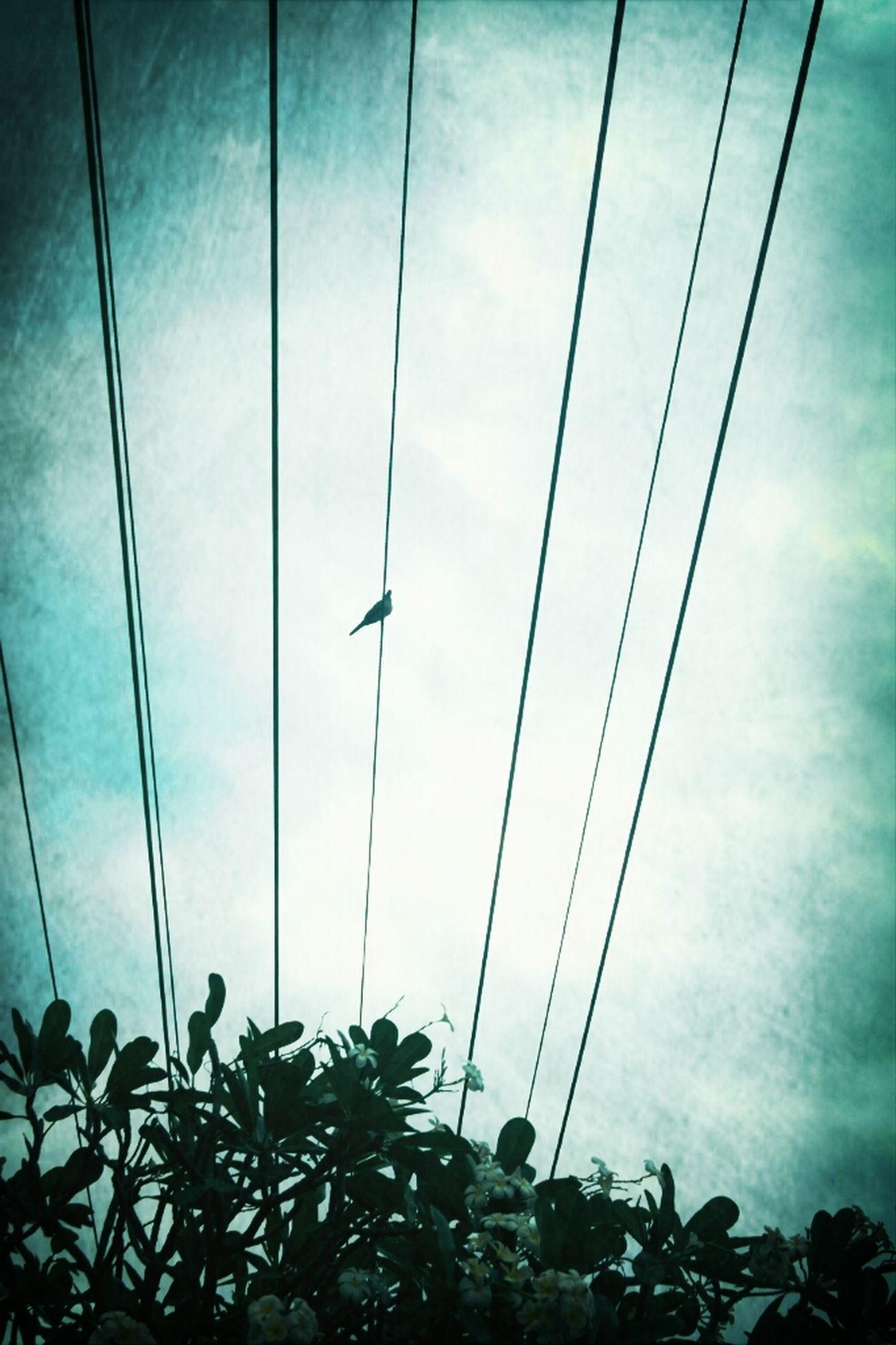Vintage Bird On A Wire Powerlines Frangipanni