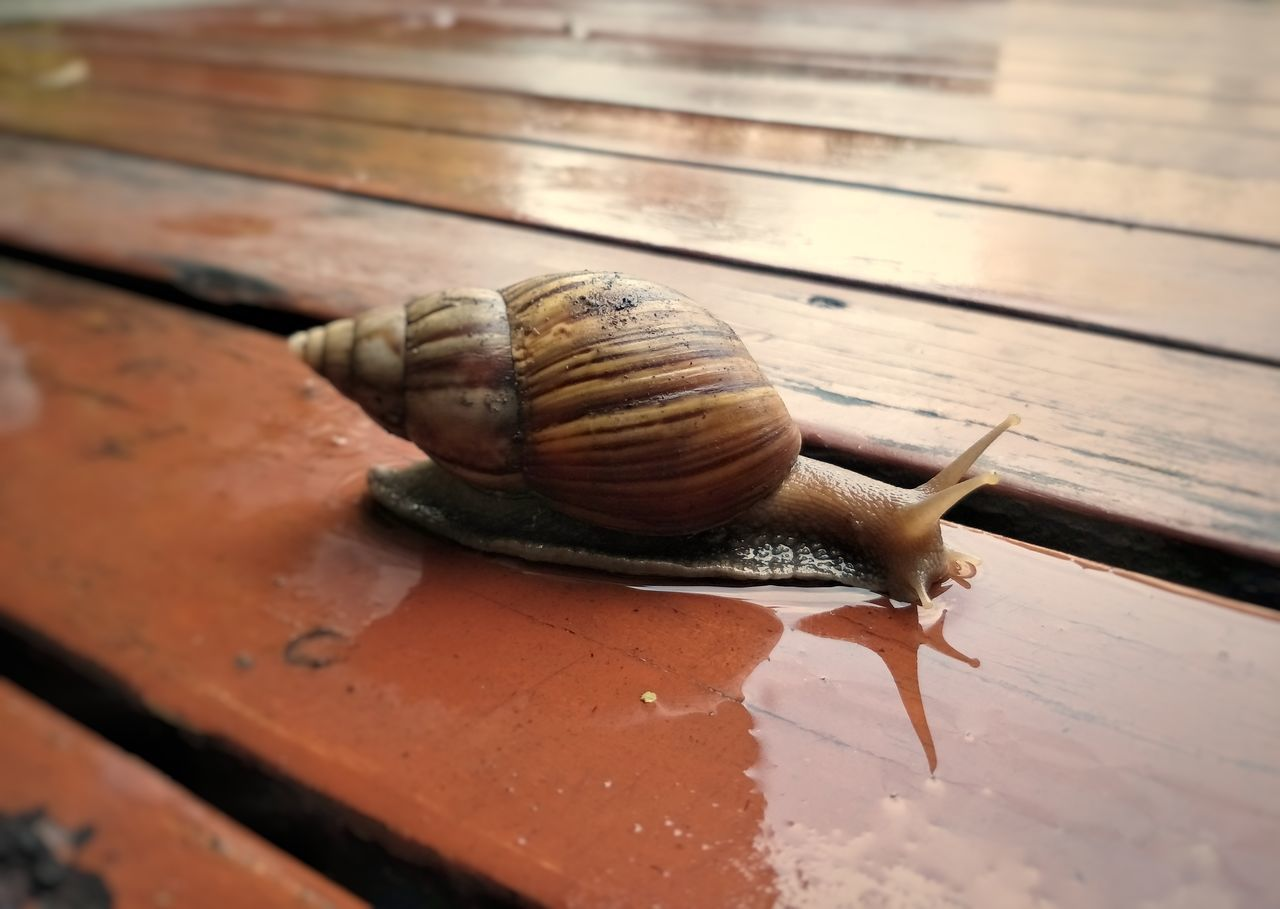 snail, gastropod, animal shell, one animal, mollusk, wildlife, animal themes, close-up, animals in the wild, brown, slimy, day, no people, outdoors, nature, fragility
