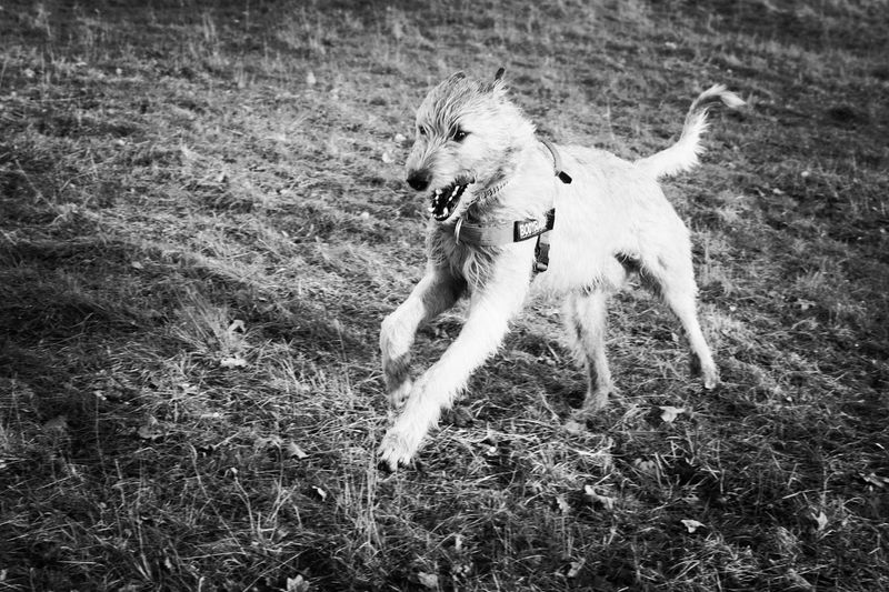Blackandwhite Monochrome One Animal Flying Outdoors Field Spread Wings Running Cearnaigh Irish Wolfhound Dogslife Dogs Of EyeEm Dogs Of Winter Dog Of The Day Dogwalk Winter 2017 How Is The Weather Today? February 2017 Herrenkrugpark Portrait Close-up Looking At Camera Dog Domestic Animals Bokeh