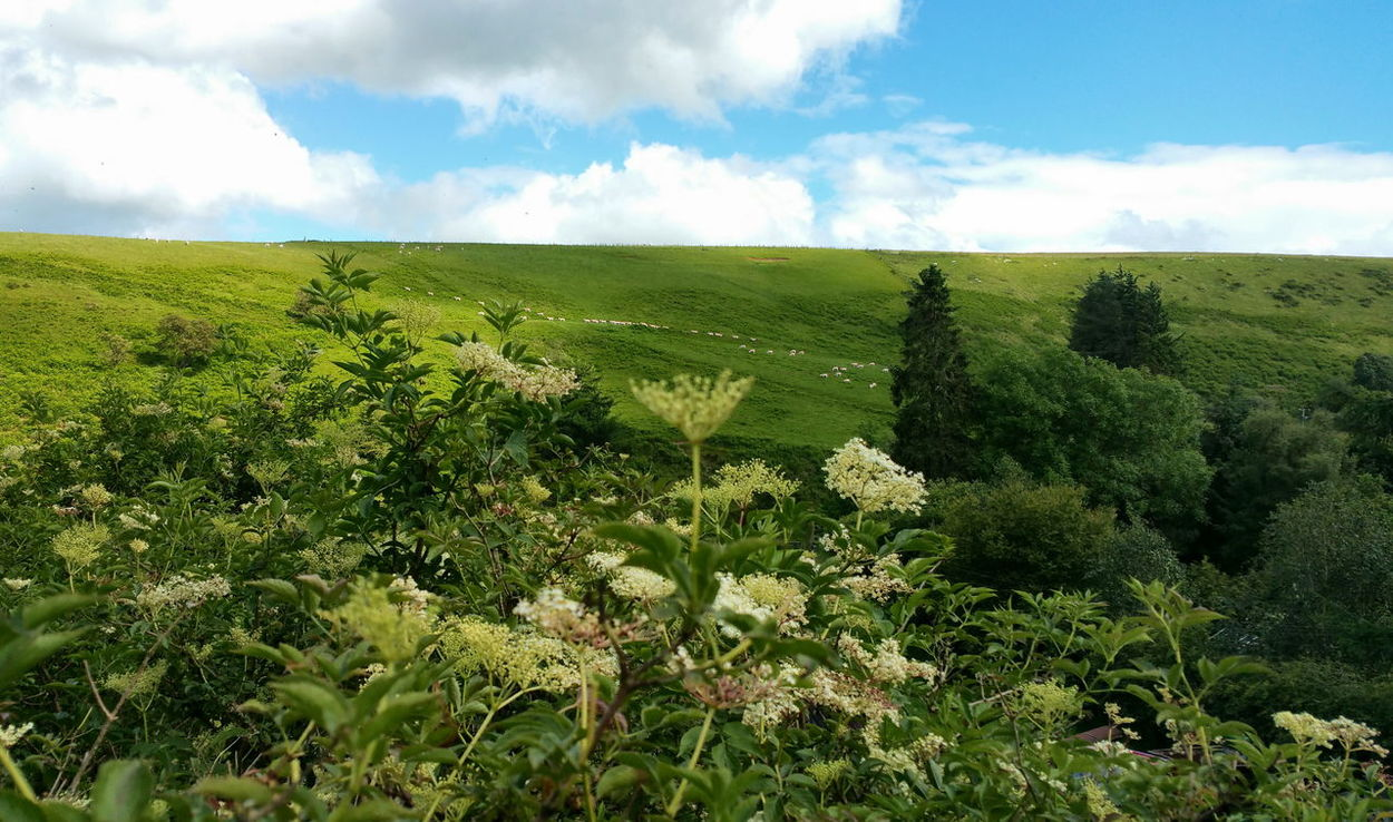 Collecting Elderflower and watching pink Sheep on a Hill - yesterday. .. Wales Countryside Country Life Hills Rural Landscape Flower Flowers Buds Summer Foraging Wild Flowers Wild Food бузина цветы овцы холмы