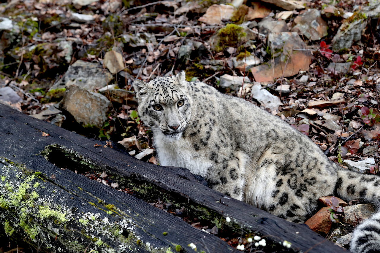 snow Leopard Animal Themes Animals In The Wild Day Endangered Animals Leopard Mammal Nature No People One Animal Outdoors Snow Leopard