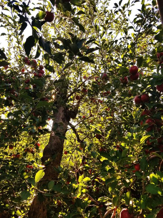 Taking Photos Enjoying Life Coulor Of Life Art Beauty Outdoors Photography Trees Fresh Air And Sunshine Exploration Life In Colors Outdoors Apples Orchard