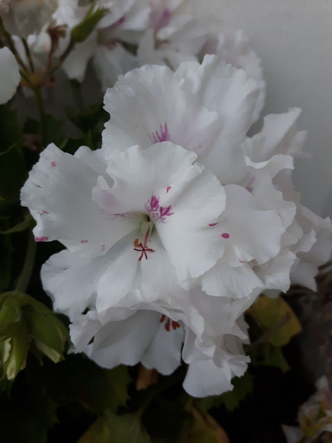 Buongiorno..Good morning happy weekend 😇💋☕💕💞🌹🌷💋❤❤❤❤😍 Flower Close-up Good Morning! Capture The Moment Taking Photos My Angel ❤ Thinking About You Looking At Camera Hanging Out Kisses ♡ Beauty In Nature Happy Weekend 😚😚😚😚