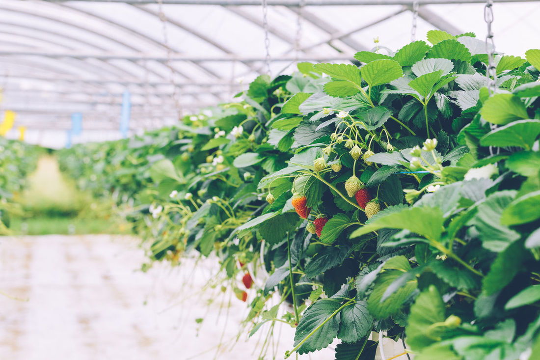 Greenhouse soilless cultivation of strawberries Agriculture Close-up Crop  Cultivation Farm Food Food And Drink Freshness Fruit Green Color Greenhouse Growing Growth Leaf Nature Organic Plant Plant Production Ripe Soilless Strawberry