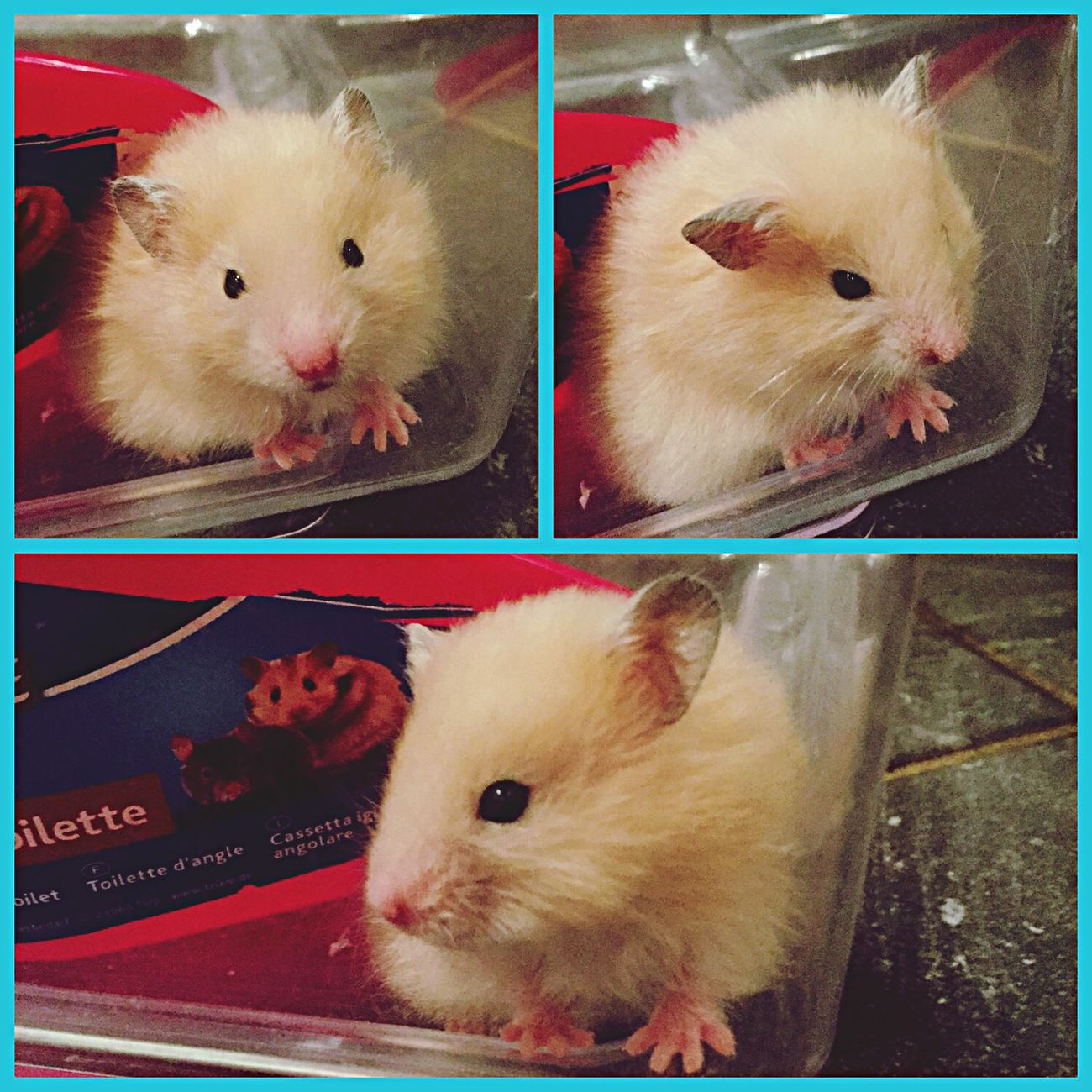 хомяк Beautiful Hamster дома Hello World