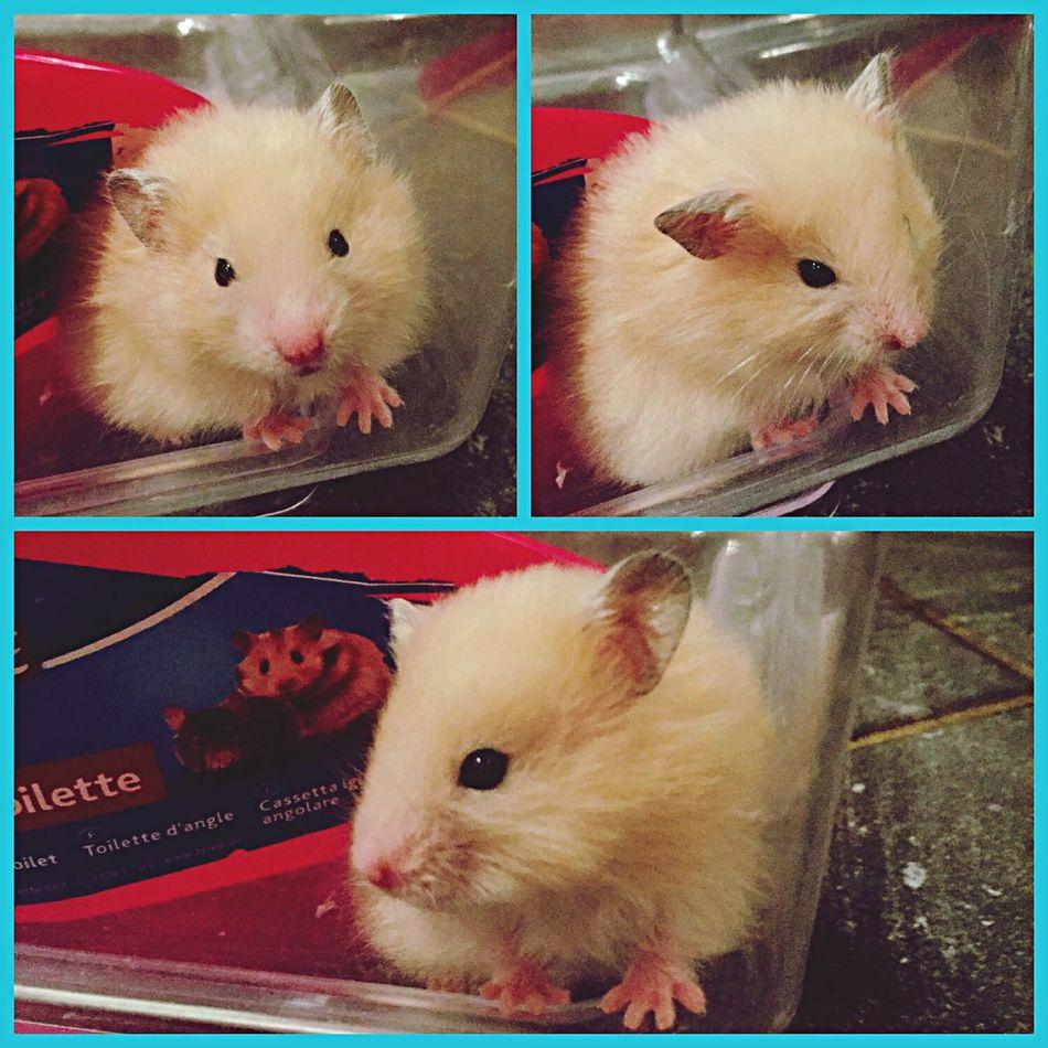 хомяк Beautiful Hamster дома Hello World