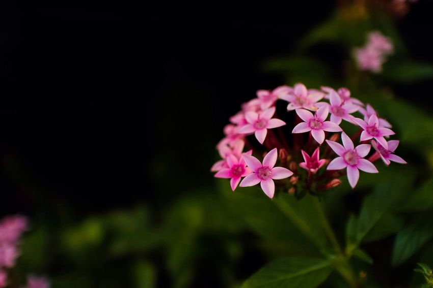 Plants 🌱 Flowers,Plants & Garden Nature_collection Flower Flower Porn Flower Collection Flowers Nature Pink ペンタス