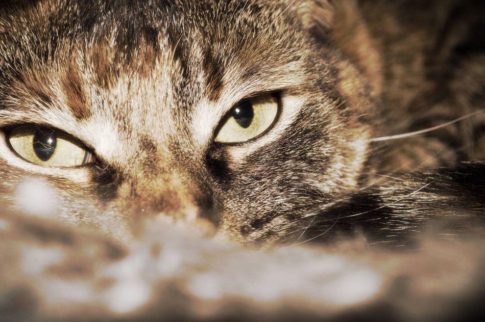 Beautiful stock photos of kitty, Animal Eye, Animal Head, Animal Themes, Cat