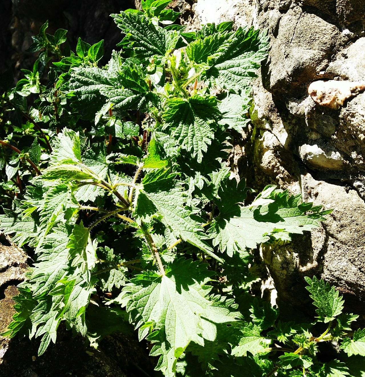 Close-up Leaf Day Outdoors Nature Sunlight No People Nettle Ortigas крапива