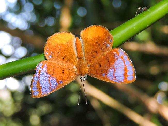 Animal Markings Animals Ant Beauty In Nature Butterfly Butterfly - Insect Close-up Focus On Foreground Fragility Green Color Insects  Magazhu Natural Pattern Nature No People Orange Butterfly Orange Color Outdoors Tranquility Tropical Tropical Butterfly Violet Color Yelapa Showcase July