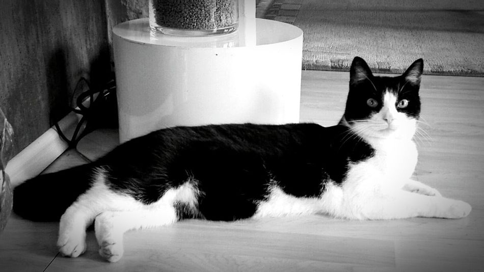 Ladyphotographerofthemonth Cute Cats Cats Of The Day Cat Watching a Felix The Cat-cat, called benji. Male Cat Black & White Pets Corner Cats Of EyeEm Cat Lovers SophistiCat Sir Benji 😉
