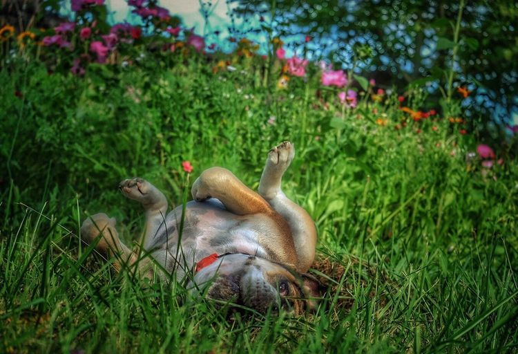 Annegret Looking For Adventures Having Fun Funny Dog Happy Dog Continental Bulldog Bulldog Bulldogsareawesome Dog Dog Love Dogs Of EyeEm Summertime Enjoying Life Nature On Your Doorstep EyeEm Gallery Things I Like Showcase August Colors Of Summer