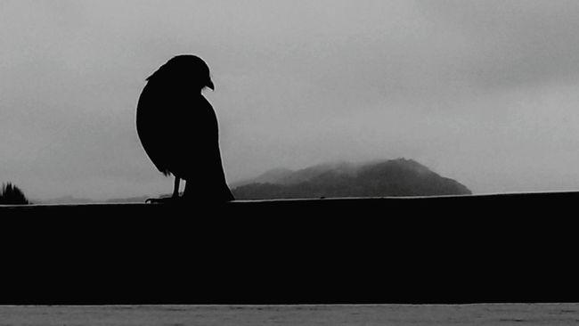 Chimango Bariloche, Argentina Nahuel Huapi Lake View Birds Snow Landscape Montañas Nevadas Mountain Cordillera De Los Andes Aves