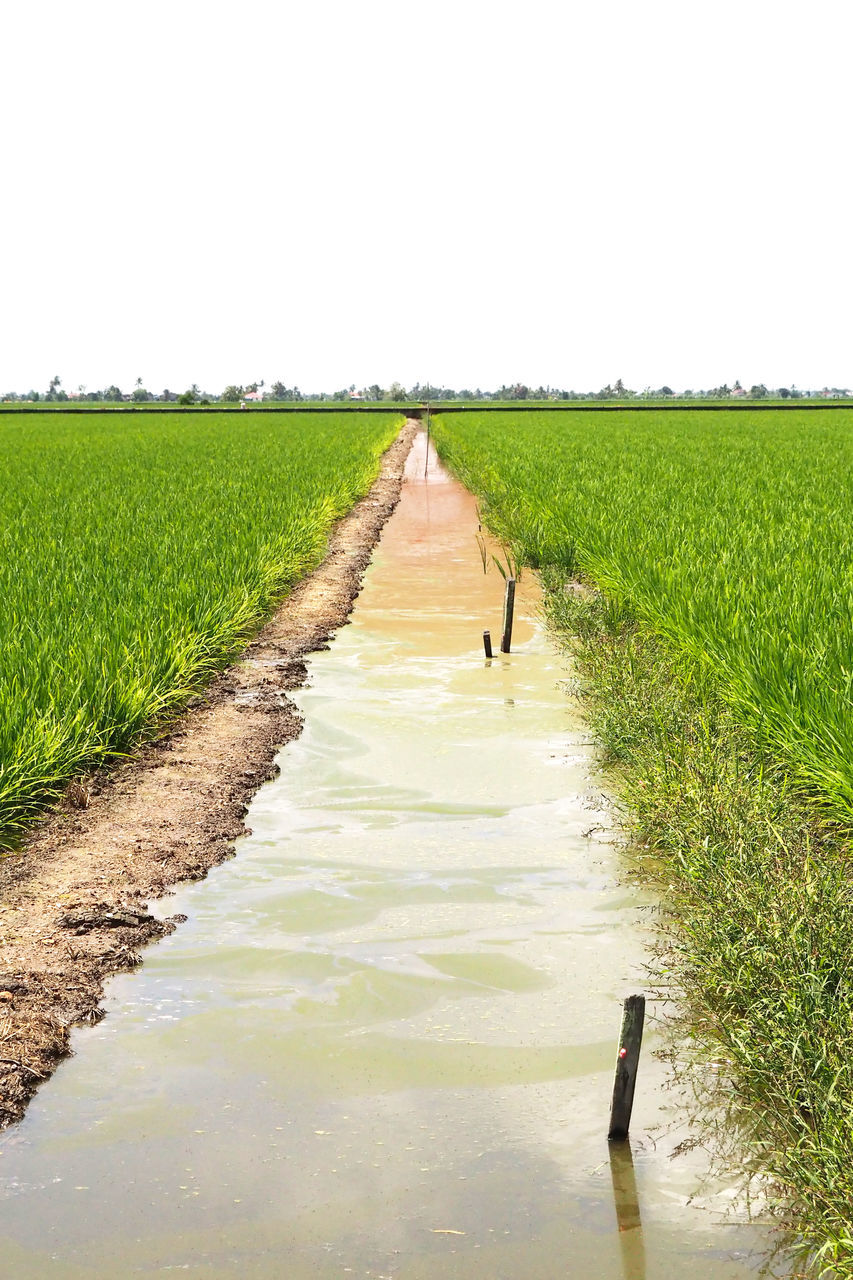 agriculture, growth, field, farm, nature, crop, rural scene, cultivated land, landscape, day, scenics, tranquil scene, water, cereal plant, outdoors, tranquility, beauty in nature, clear sky, the way forward, no people, grass, rice paddy, irrigation equipment, sky