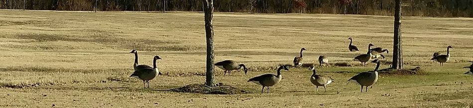 Gaggle Of Geese Animals In The Wild Nature Landscape Animal Themes