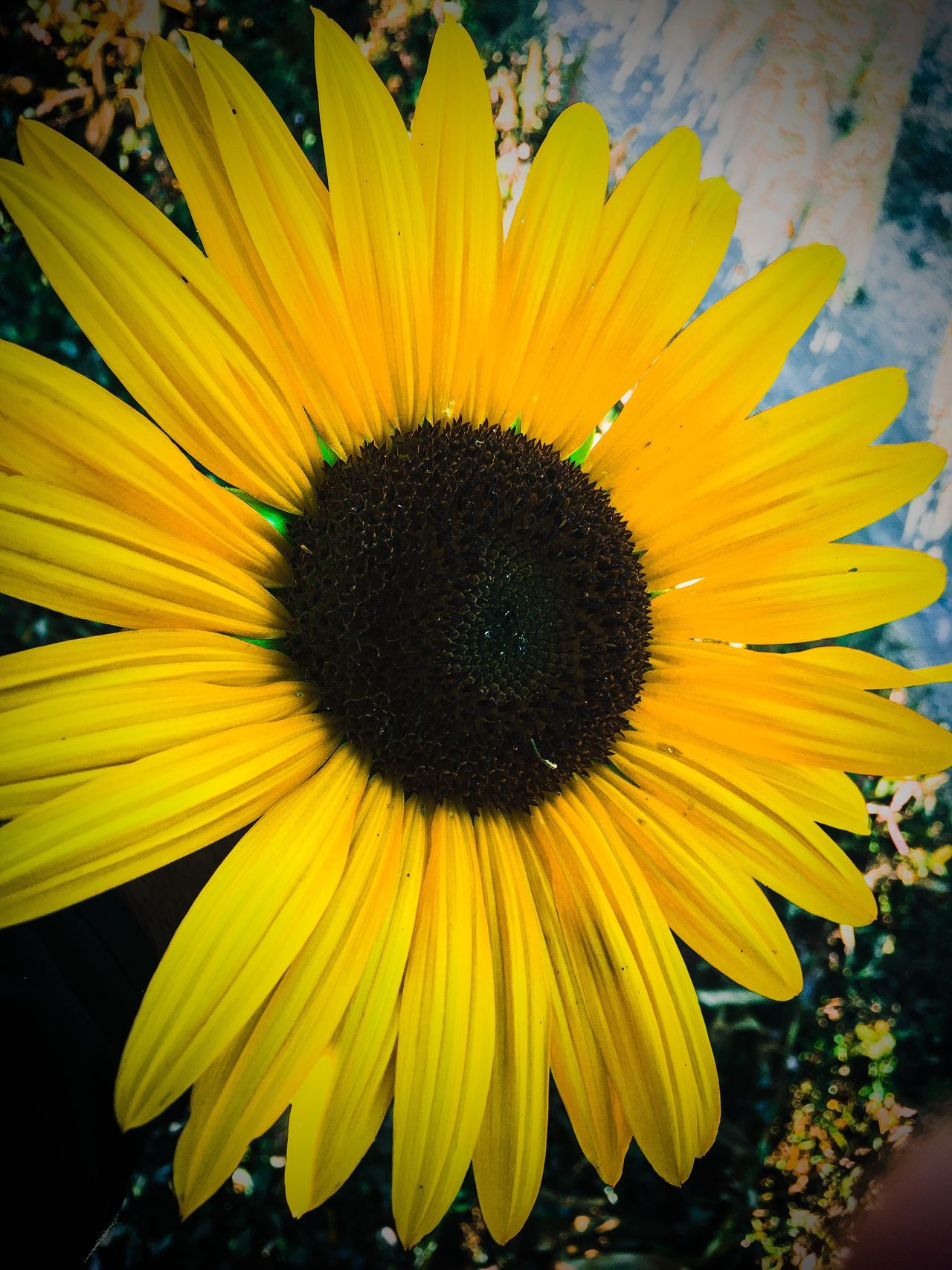Beautifully Organized sunflower petals Flower Beauty In Nature Fragility Petal Flower Head Nature Freshness Yellow Pollen Sunflower Close-up Growth Plant Day Outdoors Black-eyed Susan No People