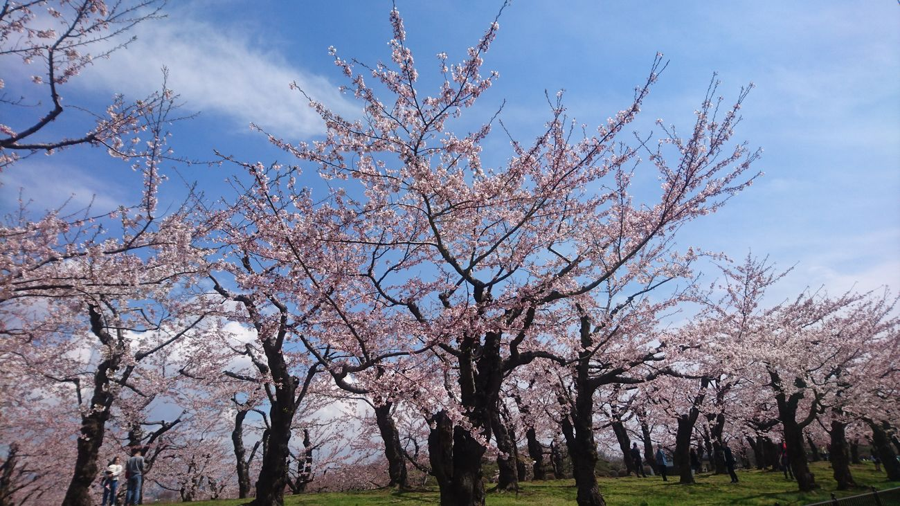 Beauty In Nature Cherry Blossom Blue Sky Spring Beutiful  Sunnydays Tree Sky Blossom Flower Day Outdoors Nature