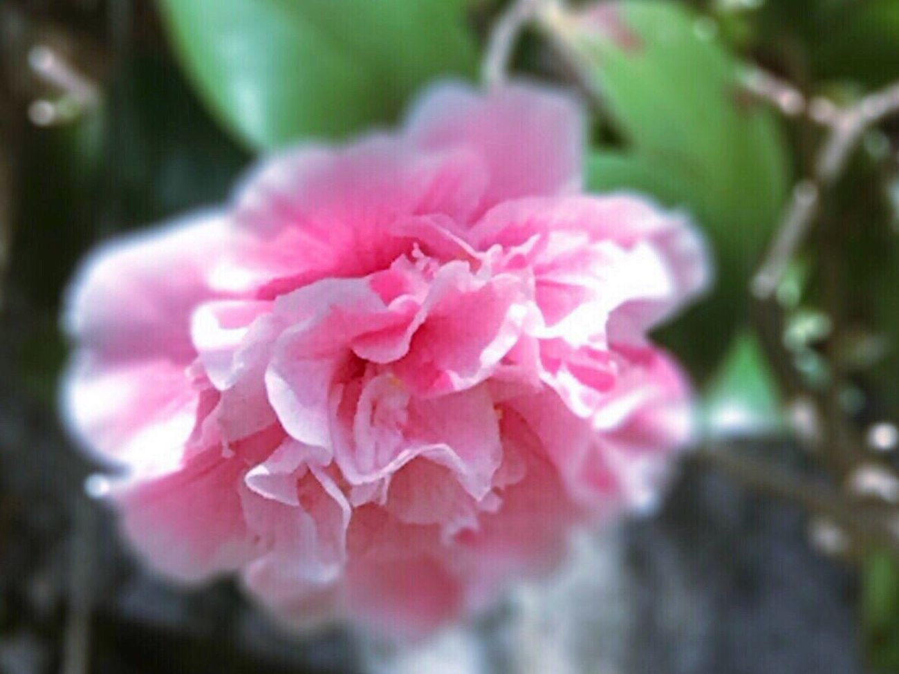 Camellia Spring Flowers Early Spring Sign Of Spring Japan Fukuoka,Japan Flower Shrine Masako201702