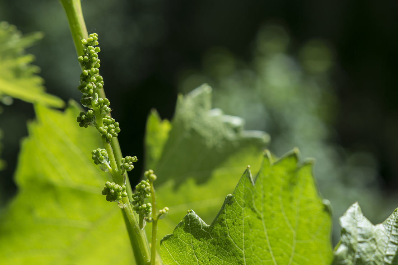 Green Color Plant Nature Leaf Growth Outdoors Agriculture Close-up No People Day Beauty In Nature Freshness Fragility Grapes Wine Vineyard Growing Young Life Tasty Grape Winemaking Winemaker Winetasting Winzer