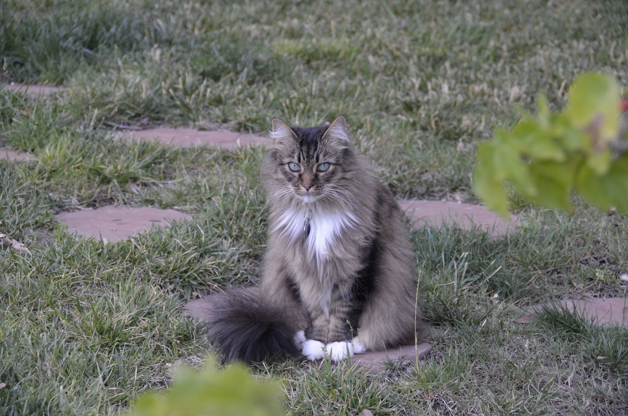 domestic cat, feline, mammal, one animal, animal themes, grass, portrait, looking at camera, pets, domestic animals, outdoors, nature, no people, day