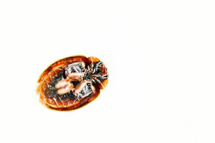 White Background Studio Shot Close-up Animal Themes One Animal No People Insect Food Day Outdoors Ladybug Ladybugs Ladybug🐞