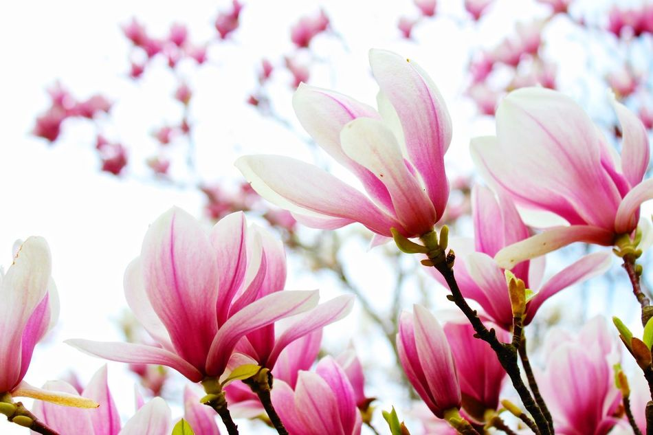 Beautiful stock photos of magnolia, Berlin, Blossom, Close-Up, Day