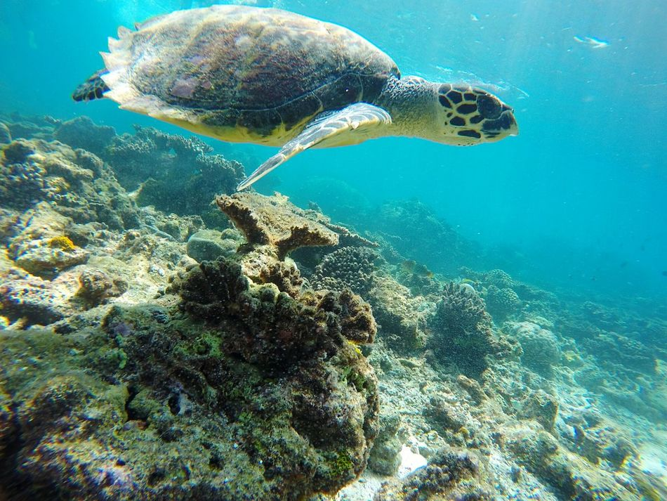 Underwater UnderSea Sea Sea Life Animals In The Wild Animal Wildlife Nature Coral Water One Animal Animal Themes Swimming Beauty In Nature Scuba Diving Sea Turtle No People Day Outdoors Turtle Wild Turtle - Tortuga Savaje